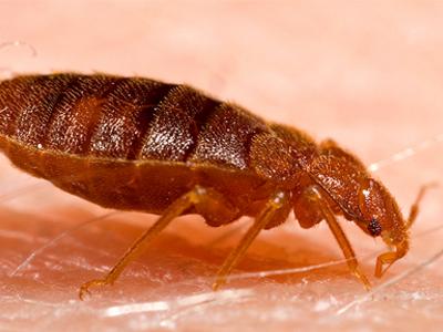 bedbugs terminated by Ikari